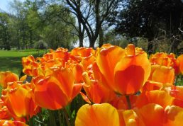 160506 tulips (7)