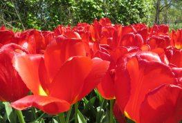 160506 tulips (8)