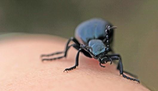 160512 Black oil beetle (1)