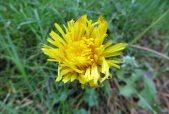 160513 dandelion Taraxacum officinale agg