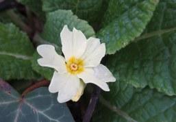 160513 primrose primula vulgaris