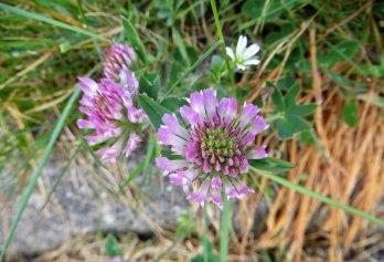 160513 red clover Trifolium pratense