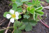 160513 Wild strawberry Fragaria vesca
