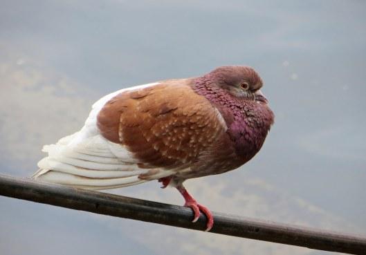 160514 pigeons (2)