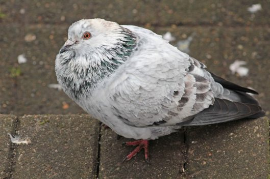160514 pigeons (3)