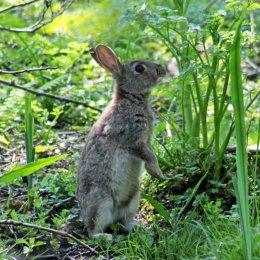 160515 rabbit (4)