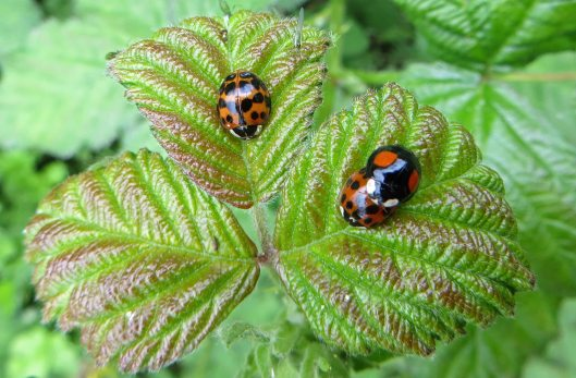 160516 Harlequin Ladybirds