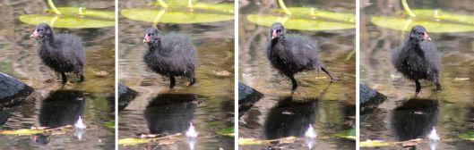 160521 moorhen chicks (1)