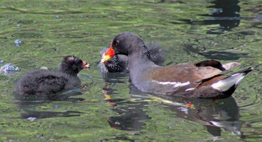 160521 moorhen chicks (2)