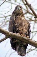 160525 bald eagle (3)