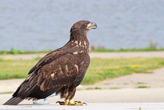 160525 bald eagle (5)