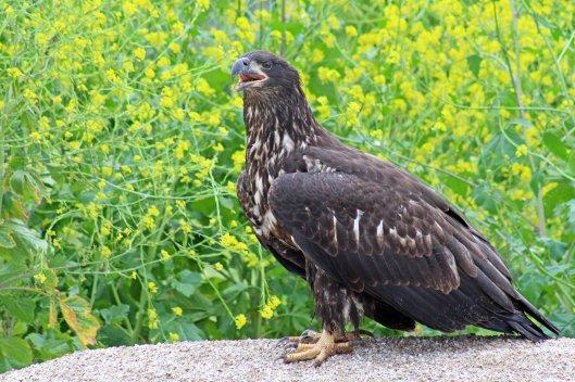 160525 bald eagle (6)