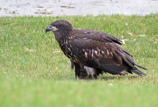 160525 bald eagle (7)