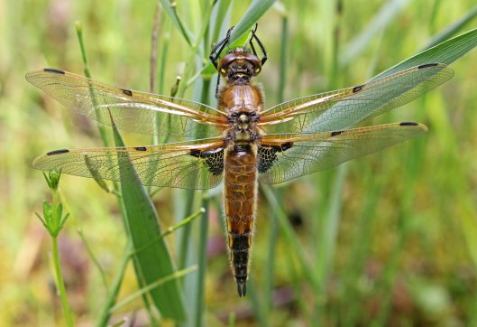 160531 Four-spotted Chaser dragonfly (1)