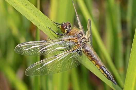 160531 Four-spotted Chaser dragonfly (2)