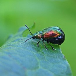 2 Green Dock Beetle Gastrophysa viridula