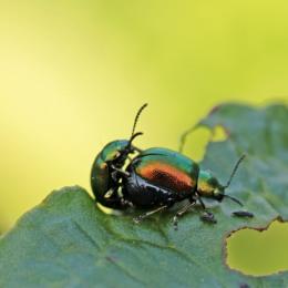 3 Green Dock Beetle Gastrophysa viridula