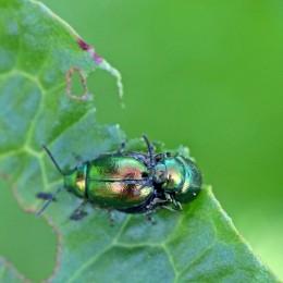 4 Green Dock Beetle Gastrophysa viridula
