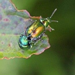 5 Green Dock Beetle Gastrophysa viridula