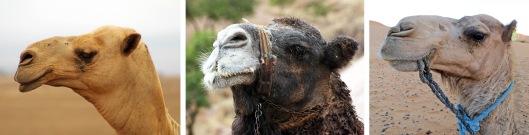 camels 1