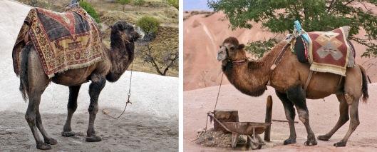 camels 3 Turkey