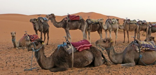 camels 4 morocco