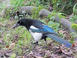 European magpie (2)