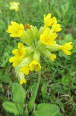 160603 yellow wildflowers (10)
