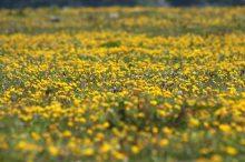 160603 yellow wildflowers (11)