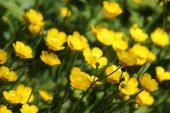 160603 yellow wildflowers (3)
