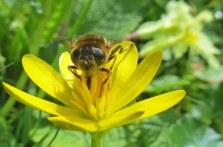 160603 yellow wildflowers (4)