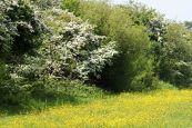 160603 yellow wildflowers (6)
