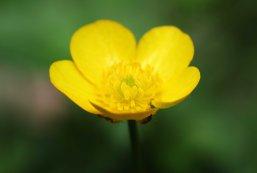 160603 yellow wildflowers (8)