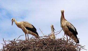 160615 storks (3)