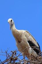 160615 storks (4)