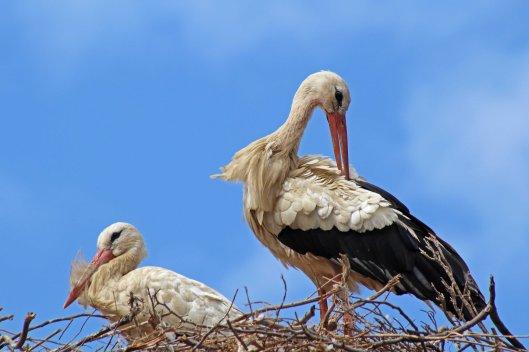 160615 storks (5)