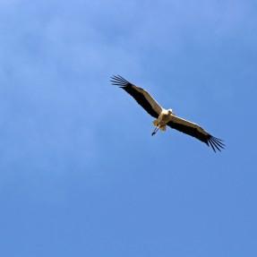 160615 storks (6)