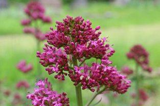 160617 pink wildflowers (11)