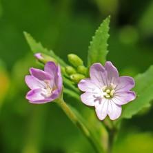 160617 pink wildflowers (13)