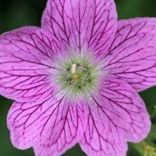 160617 pink wildflowers (14)