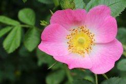 160617 pink wildflowers (2)