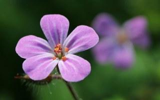 160617 pink wildflowers (5)