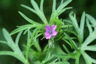 160617 pink wildflowers (7)