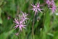160617 pink wildflowers (8)