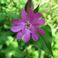 160617 pink wildflowers (9)