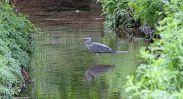 160619 heron fishing (1)