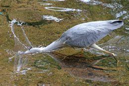 160619 heron fishing (10)