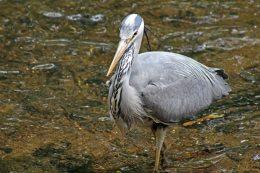 160619 heron fishing (5)