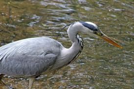 160619 heron fishing (7)