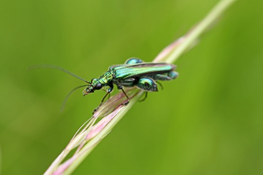 160621 swollen-thighed beetle (1)